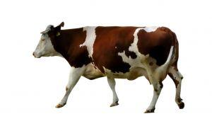 1118843_cow.jpg