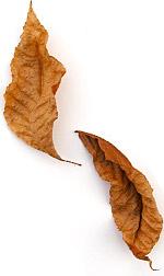 leaf-crumpled-oak4.jpg